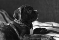 Trzciny Corso trakenu szczeniak, śliczny pies Zdjęcia Royalty Free