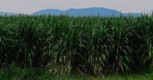 Trzciny cukrowa flancowanie w wsi zdjęcia royalty free