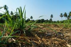 Trzciny cukrowa gospodarstwo rolne zdjęcie stock