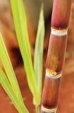 Trzciny cukrowa lub trzciny cukrowa zbliżenie pokazuje soczystego dojrzałego trzon Obraz Stock