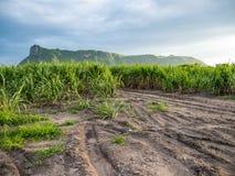 Trzciny cukrowa niebieskie niebo i gospodarstwo rolne Fotografia Royalty Free
