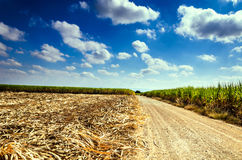 Trzciny cukrowa pole w niebieskim niebie Zdjęcia Stock