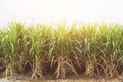 Trzciny cukrowa pole w niebieskim niebie z pomarańczowym promieniem Fotografia Stock