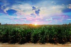 Trzciny cukrowa pole w zmierzchu niebie i biel chmurniejemy Zdjęcie Stock