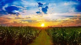 Trzciny cukrowa pole w zmierzchu niebie i biel chmurniejemy Fotografia Stock