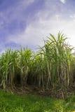 trzciny cukrowa pole z niebieskim niebem Zdjęcie Royalty Free