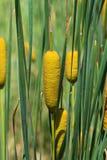 Trzciny cukrowa roślina Obrazy Stock