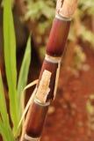 Trzciny cukrowa uprawy w pełni dojrzały przygotowywający dla przemysłowej ekstrakci (trzon) Zdjęcia Stock