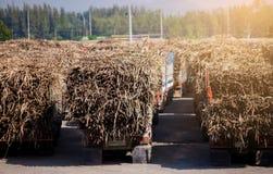 Trzciny cukrowej ciężarówka, folujący ładowny w polu z niebieskie niebo widokiem obraz royalty free