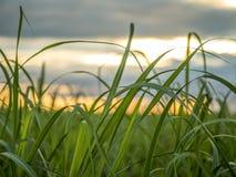 Trzciny cukrowej plantacji zmierzchu widok fotografia stock