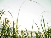 Trzciny cukrowej plantacji zmierzchu widok obrazy stock