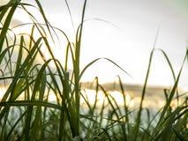 Trzciny cukrowej plantacji zmierzchu widok fotografia royalty free