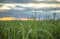 Trzciny cukrowej plantacji zmierzchu widok zdjęcia royalty free