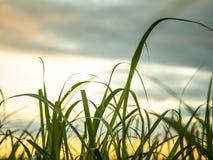 Trzciny cukrowej plantacji zmierzchu widok zdjęcie stock