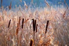 Trzciny Phragmites australis Fotografia Royalty Free