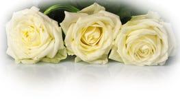 trzech białych róż Fotografia Royalty Free