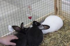trzech królików Zdjęcie Stock