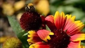 Trzmiel i kwiat zbiory