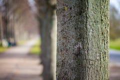 Trzon drzewo w alei Obrazy Royalty Free