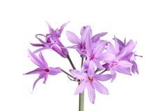 Trzon i kwiaty społeczeństwo czosnek odizolowywający przeciw bielowi Fotografia Stock