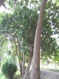 TRZON, liście, plantacja BAWEŁNIANY JEDWABNICZEGO drzewa /CEIBA PENTANDRA/BOMBAX CEIBA obrazy stock