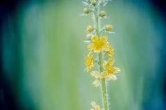 Trzon z małym kolorem żółtym kwitnie na zamazanym tle Zdjęcia Royalty Free