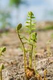 Trzon zielona młoda paproć Zdjęcie Stock