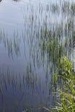 Trzony nadwodne rośliny jako pionowo zielone liny fotografia stock