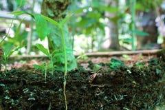 Trzony rozsady i korzenie kiełkują fotografia stock