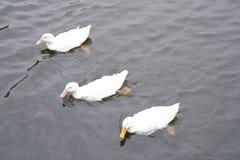 Trzy łabędź pływać fotografia royalty free
