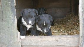 Trzy ślicznego śmiesznego małego czarny i biały szczeniaka w doghouse bawić się wokoło i patrzeje zdjęcie wideo