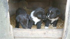 Trzy ślicznego śmiesznego małego czarny i biały szczeniaka w doghouse bawić się wokoło i patrzeje zbiory wideo