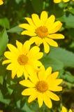 trzy żółte kwiaty Zdjęcie Stock
