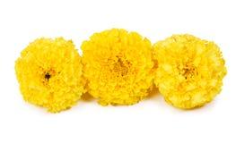 Trzy żółtego nagietka Obrazy Royalty Free