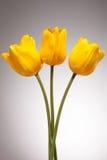 Trzy żółtego tulipanu Obraz Stock
