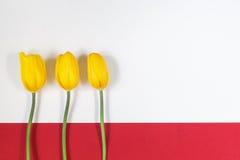 Trzy żółtego tulipanu na białym i czerwonym tle Obraz Royalty Free