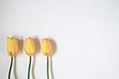 Trzy żółtego tulipanu na białym tle Obraz Stock