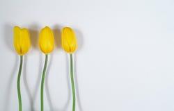 Trzy żółtego tulipanu na białym tle Obrazy Royalty Free