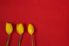 Trzy żółtego tulipanu na czerwonym tle Obrazy Royalty Free