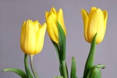 Trzy żółtego tulipanu na szarym tła zakończeniu Fotografia Royalty Free
