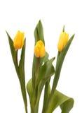 Trzy żółtego tulipanu Zdjęcia Royalty Free