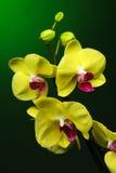 Trzy żółtej orchidei Fotografia Royalty Free