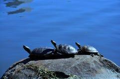 Trzy żółwia na skale obraz royalty free