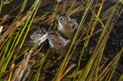 Trzy żaby Fotografia Royalty Free