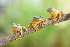 Trzy żaby latający pobyt na gałąź obrazy stock