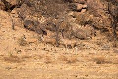 Trzy żeńskiego kudu Chodzi przez sawanny Południowa Afryka, Mapungubwe park narodowy obrazy stock