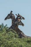 Trzy żyrafa z szyjami przeplatać nad drzewa Fotografia Royalty Free