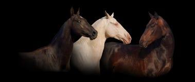 Trzy achal-teke portreta koński sztandar Obrazy Royalty Free