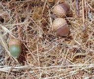 Trzy Acorns Quercus na Sosnowych igłach Obraz Royalty Free