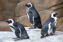 Trzy Afrykańskiego pingwinu patrzeje w różnych kierunkach zdjęcie royalty free